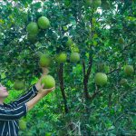 The pomelo fruit in the forest for salad recipe   Pomelo picking   Healthy Food